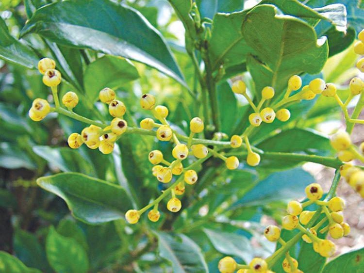 Hình ảnh về hoa ngâu.